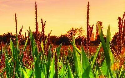 Commercial Growers Newsletter October-December 2017