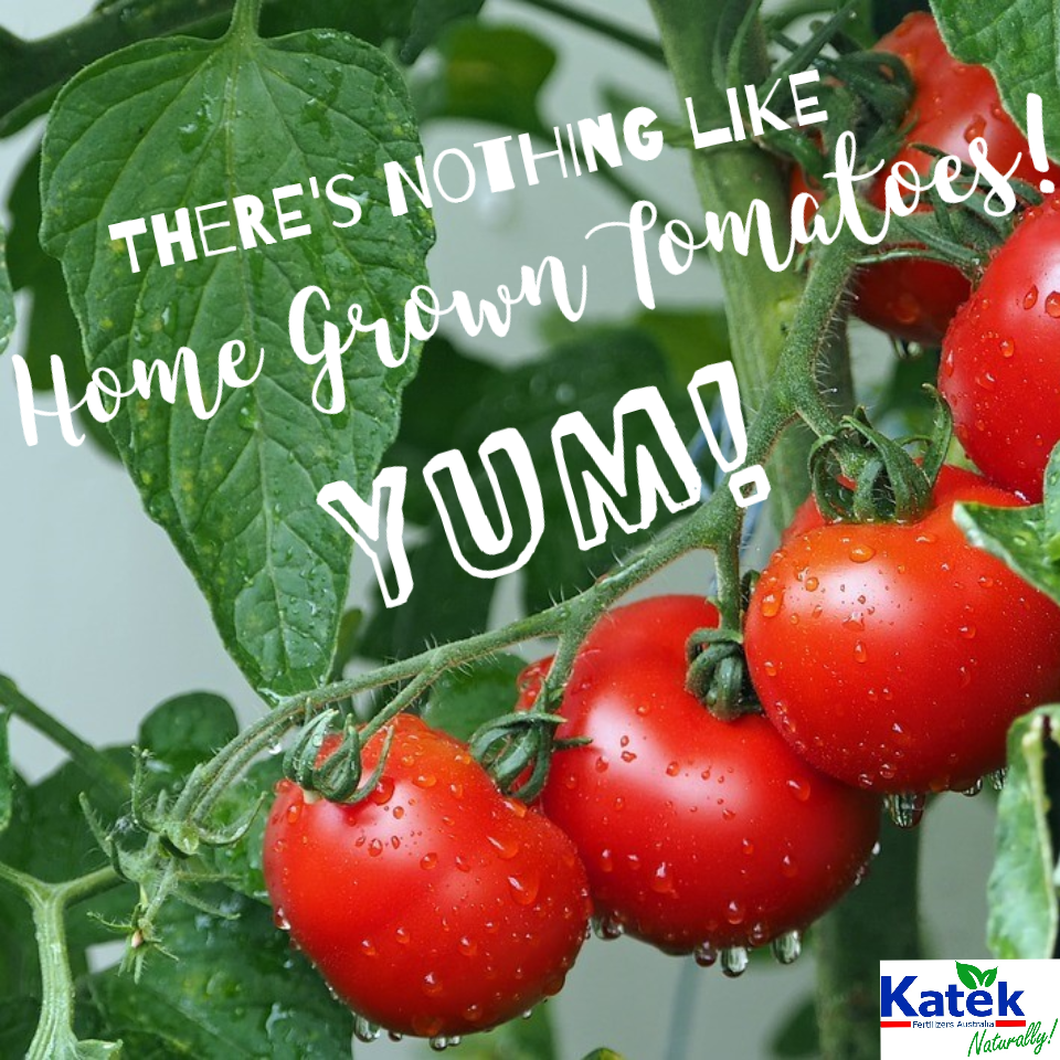 How To Grow Tomatoes Katek Fertilizers