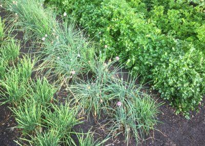Vege Garden - Ross Cotton 2