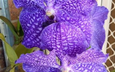 Stunning Orchid Grown with Katek
