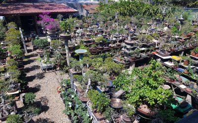 Booming Bonsais @ Robin's Bonsai, Oxley QLD