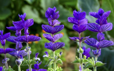 How to Grow Salvia